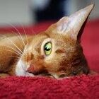 Abesīnijas kaķis