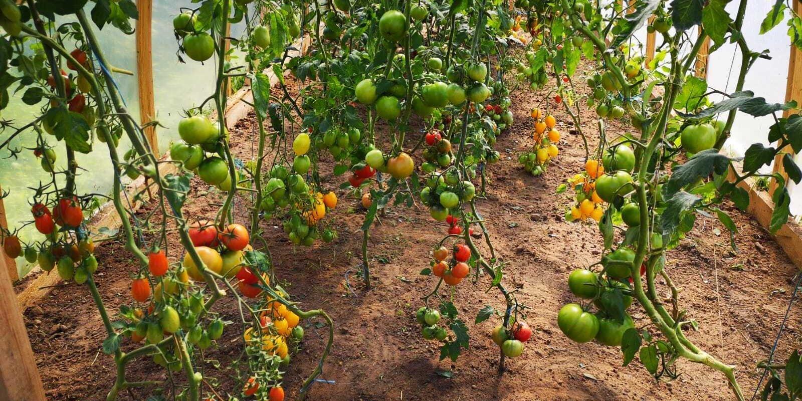Vissulīgākie tomāti un kraukšķīgākie gurķi – kā siltumnīcā izaudzēt brangu ražu