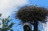'Sadales tīkls': stārķu ligzdošanas periodā uzņēmums neveic ligzdu noņemšanu