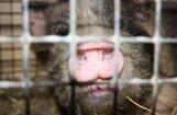 Ассоциация: АЧС на Latgales Bekons - большой шок и потеря для свиноводческой отрасли