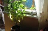 Par marihuānas dekriminalizāciju parakstījušies jau vairāk nekā 9400 cilvēku