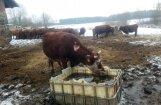 Foto: Nomērdēto govju īpašniece Priekuļu novadā daļu ganāmpulka pārdos