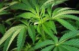 Atbalsts marihuānas dekriminalizācijai pārsniedz 'slieksni'; jālemj Saeimai