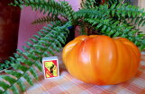 Jelgavas novadā izaug milzu tomāts