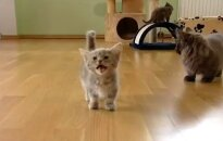 Kaķēns no Latvijas kļūst par YouTube sensāciju