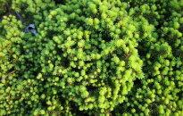 Video: Dekoratīvi skuju koki Kalsnavas arborētumā, ko var izaudzēt arī pašu dārzā