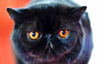 Kaķis ieklīst gaļas kombinātā un apēd vairāk nekā 1000 eiro vērtu produkciju