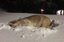 Aizkustinošs video: Aklais suņuks Smailijs vārtās pa sniegu Kanādā