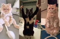 Staipās un sēž kā cilvēks: pasaulē slaveni kaķi ar dīvainiem paradumiem