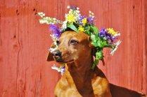 Veterinārārste: cilvēki kļūst neuzmanīgāki. Ko no svētku galda nedot sunim