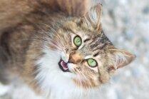 Kāpēc kaķi 'čivina'