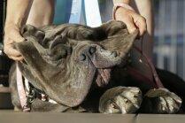 Pasaulē neglītākā suņa saimniece: domāju, ka viņa ir skaista