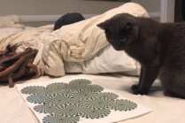 Video: Kaķi samulsina optiskā ilūzija
