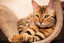 Pieci kaķi, kurus var pārsteidzoši viegli apmācīt