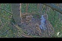 Video: Ūpju pāra Bo un Bubo visdrosmīgākais ūpēns devies iepazīt pasauli ārpus ligzdas