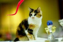 Dzīvnieku izstādē Ķīpsalā noskaidros sievišķīgāko kaķeni un vīrišķīgāko runci
