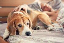 Kāpēc suns ar gurniem atspiežas pret saimnieku un guļ, pagriezis muguru