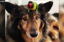 Video: Kā draudzējas suns un papagailītis