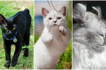 Ne tāds kā visi citi. Trīs skaisti kaķi ar izskata 'odziņām'