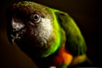 Jautājums par Senegālas papagaiļiem