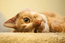Piecas kaķu delverības, kas liek viņus iemīlēt vēl vairāk
