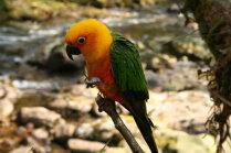 Jautājums par papagailēnu