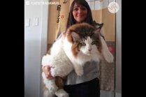Foto: Uzmanīgais milzis Samsons – lielākais kaķis Ņujorkā
