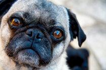 Kāpēc mopšiem un vācu aitu suņiem var pastiprināti iekaist acis?