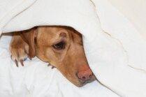 Kāpēc suns cenšas kaulu aprakt saimnieka gultā