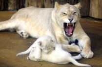 Foto: Magdeburgas zoodārzā dzimis mīlīgs kvartets – retie baltie lauvēni