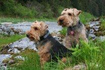 Vecākā suņu šķirne Lielbritānijā – pacietīgais un tolerantais Velsas terjers