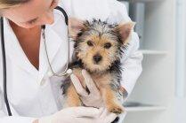 Veterinārārsti līdz 1. decembrim samazina maksu par suņu čipēšanu