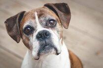 Četrkājainais šmulis – suņu šķirnes, kas mājās var atstāt lielāko nekārtību
