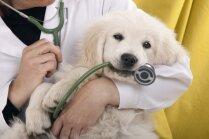 Kāpēc mājdzīvnieks satrakojas, apmeklējot veterinārārstu