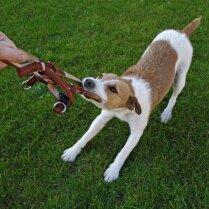ТОП-10: самые непослушные собаки в мире