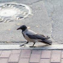 Осторожно, злая ворона: как избежать встречи с агрессивной птицей