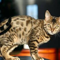 Kaķu šķirnes: Bengāļu kaķis