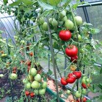 Почему опадают зеленые незрелые помидоры
