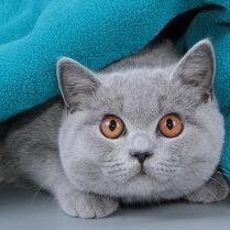 Britu īsspalvainais kaķis