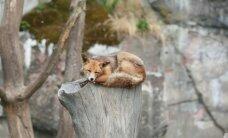 Mežacūkas ierodas 'vizītēs', bet vairāki simti lapsu Rīgā mierīgi dzīvo