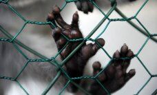 Artis Svece, 'Rīgas Laiks': Šimpanžu tiesības
