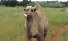 Video: Tūristus vajā īpaši siekalains kamielis
