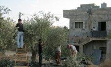 Olīvu ražas novākšana Palestīnā
