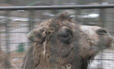 Video: Kā Rīgas zoo dzīvnieki dodas ceļā uz Tbilisi