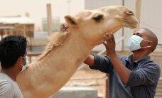 Jauns kamieļu pārnēsāts vīruss apdraud tūristus