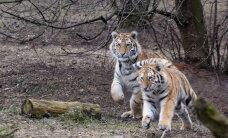 Сбежавшие из голландского питомника тигры найдены