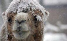 Silta, balta cepurīte galvā kamieļam!