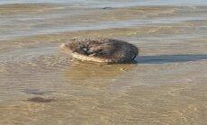 Video: Kā dzīvnieciņš Dzintaros jūras ūdeņos plunčājas un mazgā galvu