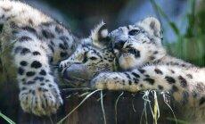 Zoodārzā Losandželosā dzimuši neparasto sniega leopardu dvīnīši