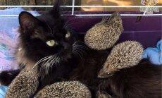 Kā šobrīd dzīvo bariņš ežu, par kuriem rūpes negaidīti uzņēmās kaķenīte Musja